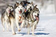 husky in sled
