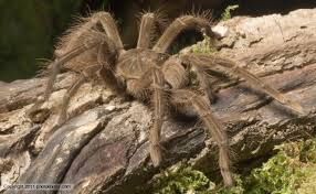 goliath bird eater spider