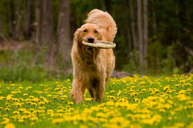 golden with frisbe